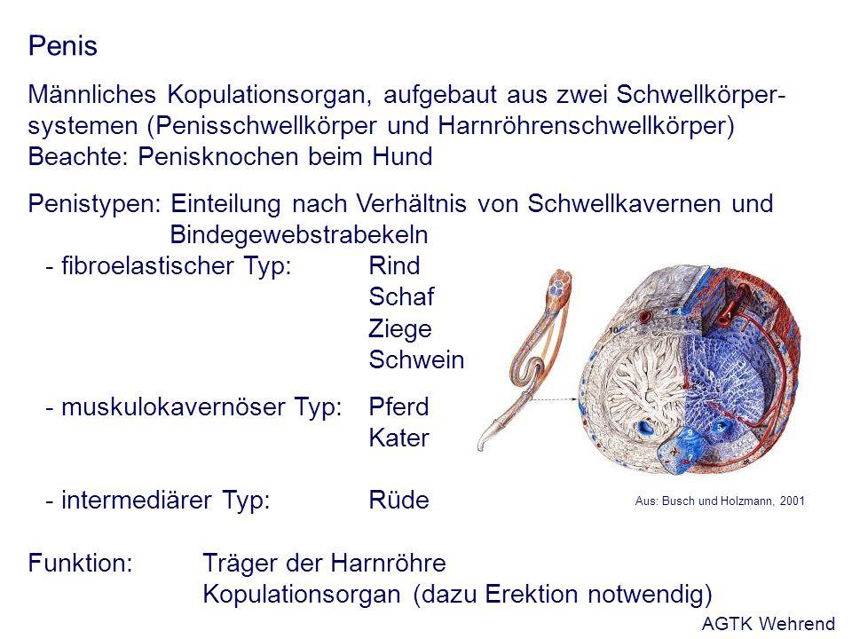 Penis Männliches Kopulationsorgan, aufgebaut aus zwei Schwellkörper- systemen (Penisschwellkörper und Harnröhrenschwellkörper) Beachte: Penisknochen beim Hund Penistypen: Einteilung nach Verhältnis von Schwellkavernen und Bindegewebstrabekeln - fibroelastischer Typ:Rind Schaf Ziege Schwein - muskulokavernöser Typ:Pferd Kater - intermediärer Typ:Rüde Funktion: Träger der Harnröhre Kopulationsorgan (dazu Erektion notwendig) Aus: Busch und Holzmann, 2001 AGTK Wehrend