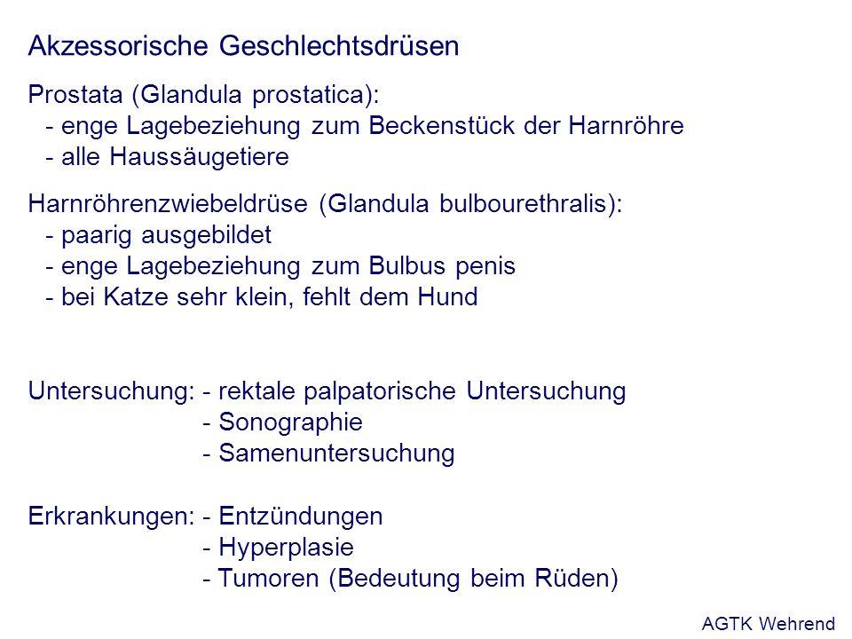 Akzessorische Geschlechtsdrüsen Prostata (Glandula prostatica): - enge Lagebeziehung zum Beckenstück der Harnröhre - alle Haussäugetiere Harnröhrenzwiebeldrüse (Glandula bulbourethralis): - paarig ausgebildet - enge Lagebeziehung zum Bulbus penis - bei Katze sehr klein, fehlt dem Hund Untersuchung:- rektale palpatorische Untersuchung - Sonographie - Samenuntersuchung Erkrankungen:- Entzündungen - Hyperplasie - Tumoren (Bedeutung beim Rüden) AGTK Wehrend