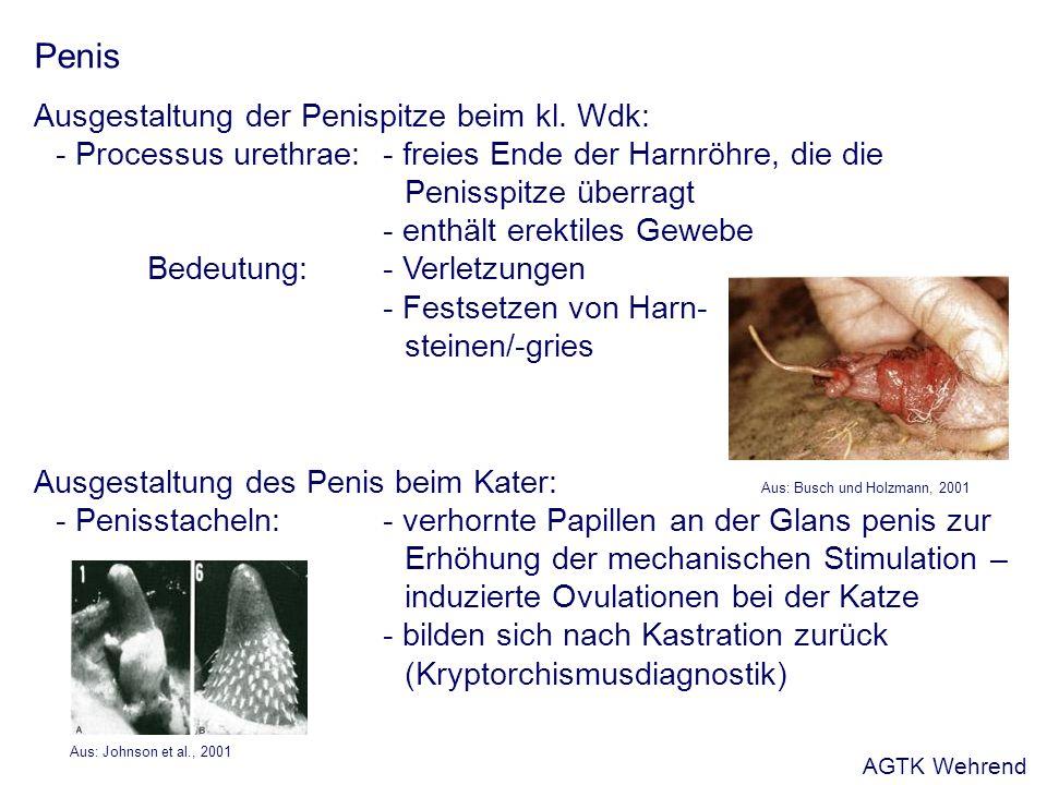 Penis Ausgestaltung der Penispitze beim kl. Wdk: - Processus urethrae: - freies Ende der Harnröhre, die die Penisspitze überragt - enthält erektiles G