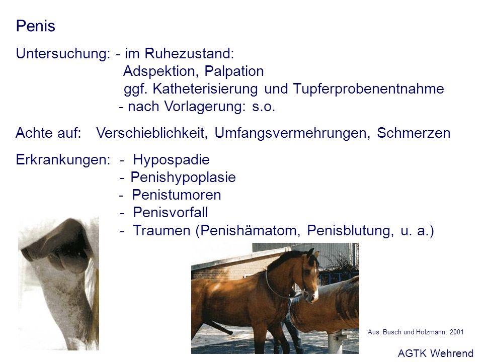 Penis Untersuchung: - im Ruhezustand: Adspektion, Palpation ggf. Katheterisierung und Tupferprobenentnahme - nach Vorlagerung: s.o. Achte auf:Verschie