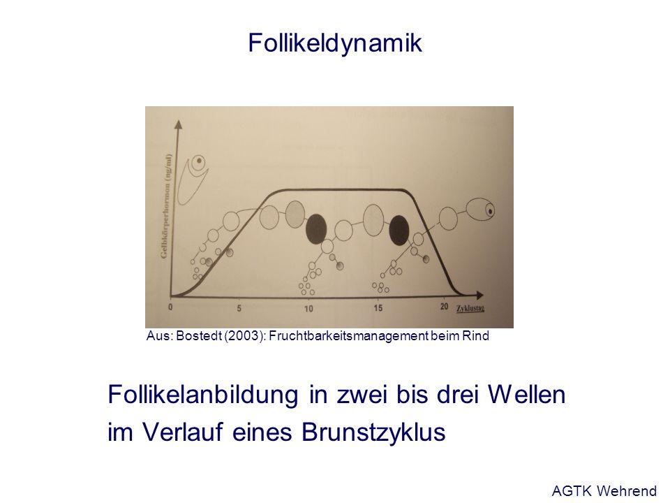 Follikeldynamik Follikelanbildung in zwei bis drei Wellen im Verlauf eines Brunstzyklus Aus: Bostedt (2003): Fruchtbarkeitsmanagement beim Rind AGTK W