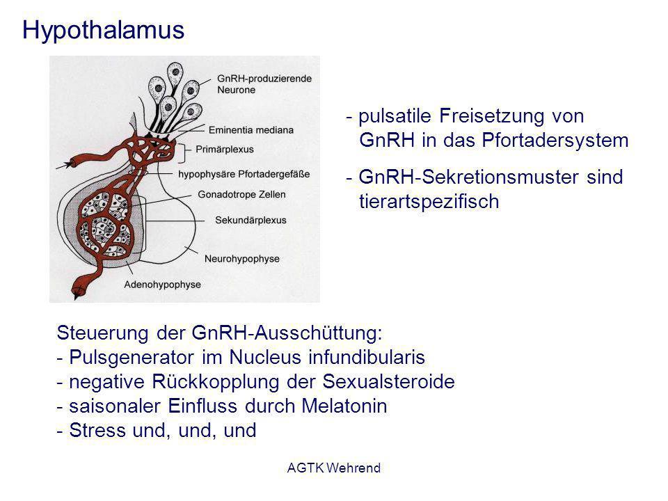 AGTK Wehrend Hypothalamus - pulsatile Freisetzung von GnRH in das Pfortadersystem - GnRH-Sekretionsmuster sind tierartspezifisch Steuerung der GnRH-Au
