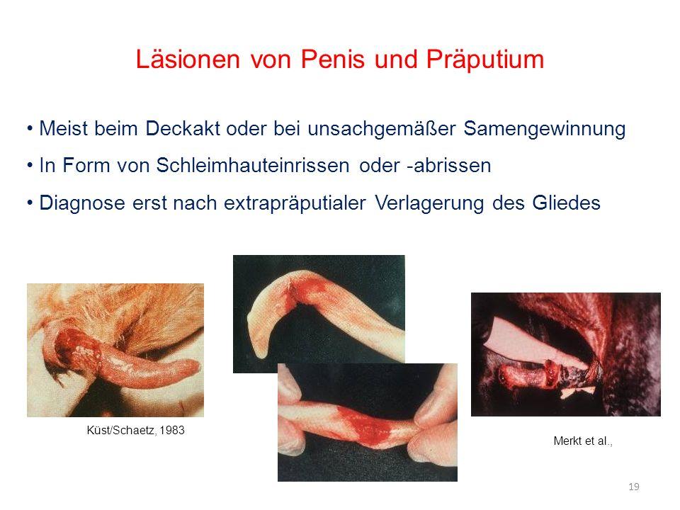 Läsionen von Penis und Präputium Meist beim Deckakt oder bei unsachgemäßer Samengewinnung In Form von Schleimhauteinrissen oder -abrissen Diagnose ers
