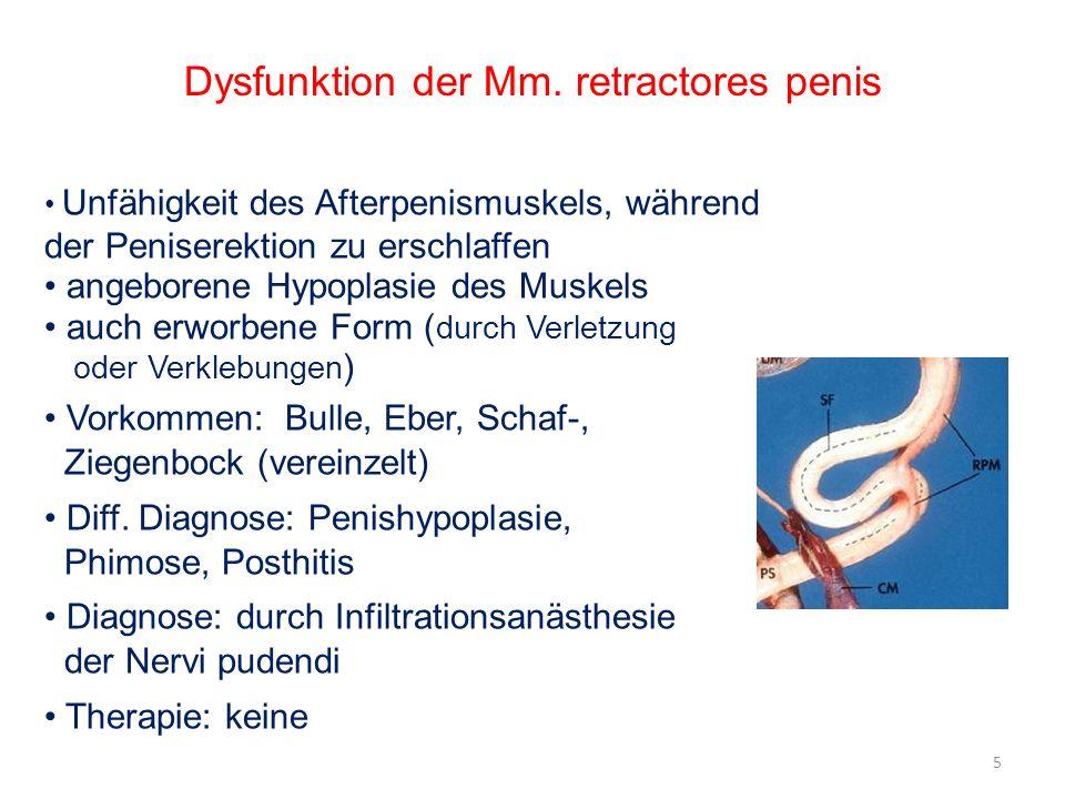 Dysfunktion der Mm. retractores penis Unfähigkeit des Afterpenismuskels, während der Peniserektion zu erschlaffen angeborene Hypoplasie des Muskels au