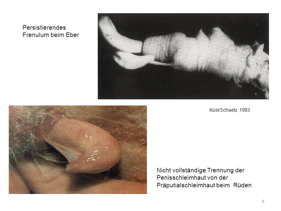 Persistierendes Frenulum beim Eber Küst/Schaetz, 1983 Nicht vollständige Trennung der Penisschleimhaut von der Präputialschleimhaut beim Rüden 8