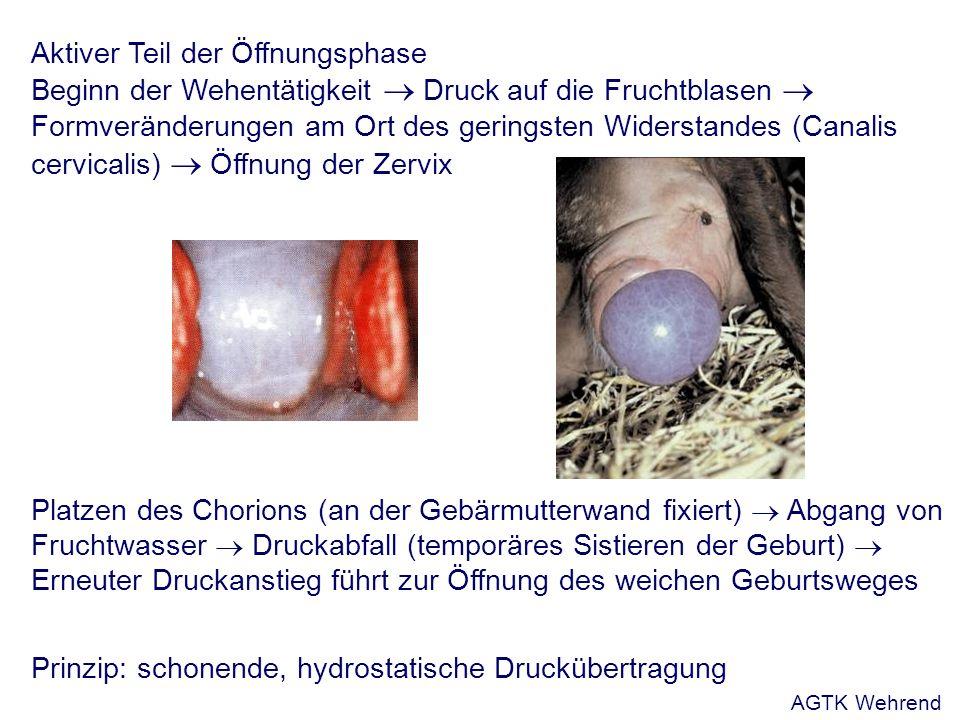 Aktiver Teil der Öffnungsphase Beginn der Wehentätigkeit Druck auf die Fruchtblasen Formveränderungen am Ort des geringsten Widerstandes (Canalis cervicalis) Öffnung der Zervix Platzen des Chorions (an der Gebärmutterwand fixiert) Abgang von Fruchtwasser Druckabfall (temporäres Sistieren der Geburt) Erneuter Druckanstieg führt zur Öffnung des weichen Geburtsweges Prinzip: schonende, hydrostatische Druckübertragung AGTK Wehrend