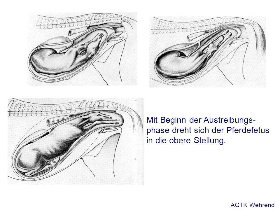 Mit Beginn der Austreibungs- phase dreht sich der Pferdefetus in die obere Stellung. AGTK Wehrend