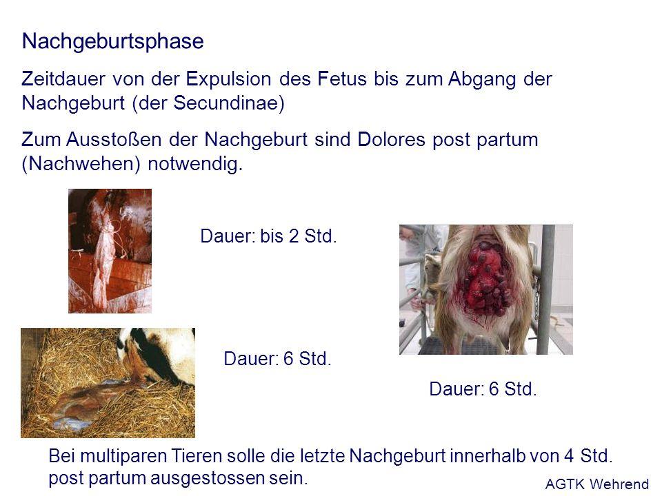 Nachgeburtsphase Zeitdauer von der Expulsion des Fetus bis zum Abgang der Nachgeburt (der Secundinae) Zum Ausstoßen der Nachgeburt sind Dolores post partum (Nachwehen) notwendig.