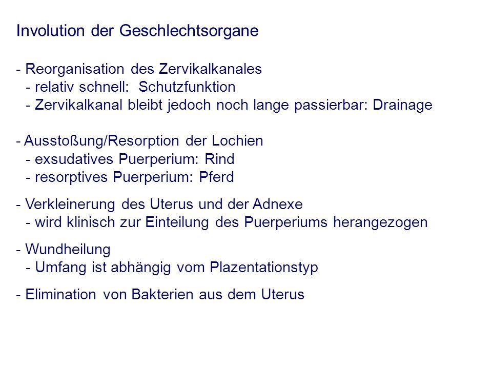 Involution der Geschlechtsorgane - Reorganisation des Zervikalkanales - relativ schnell: Schutzfunktion - Zervikalkanal bleibt jedoch noch lange passierbar: Drainage - Ausstoßung/Resorption der Lochien - exsudatives Puerperium: Rind - resorptives Puerperium: Pferd - Verkleinerung des Uterus und der Adnexe - wird klinisch zur Einteilung des Puerperiums herangezogen - Wundheilung - Umfang ist abhängig vom Plazentationstyp - Elimination von Bakterien aus dem Uterus
