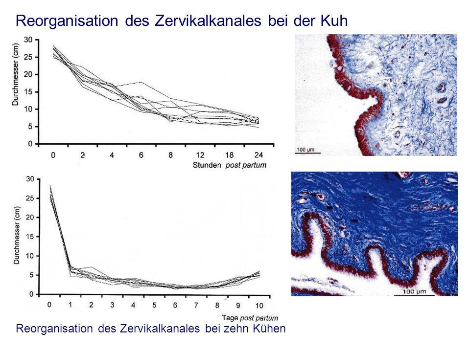 Reorganisation des Zervikalkanales bei der Kuh Reorganisation des Zervikalkanales bei zehn Kühen