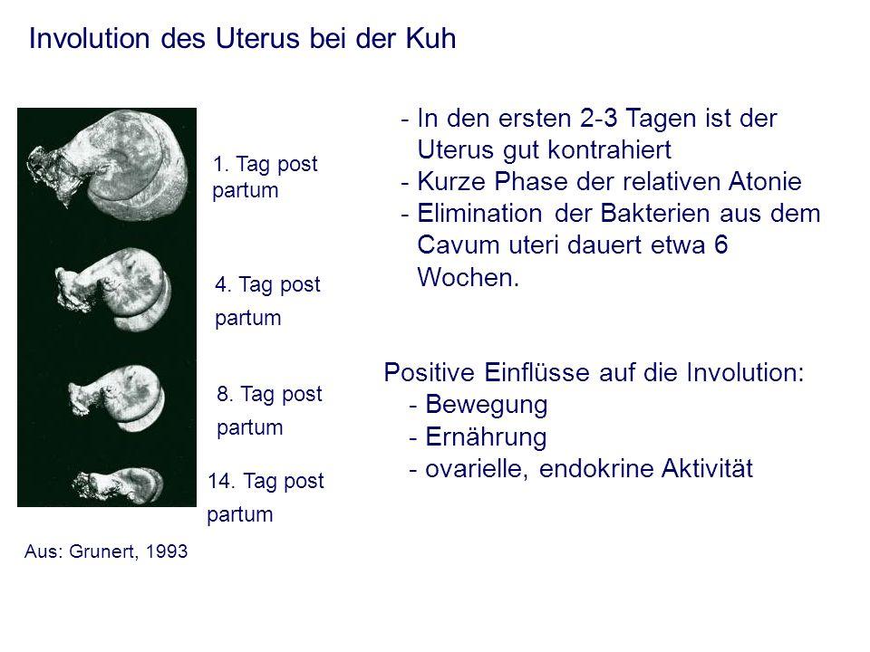 Involution des Uterus bei der Kuh -In den ersten 2-3 Tagen ist der Uterus gut kontrahiert - Kurze Phase der relativen Atonie - Elimination der Bakterien aus dem Cavum uteri dauert etwa 6 Wochen.