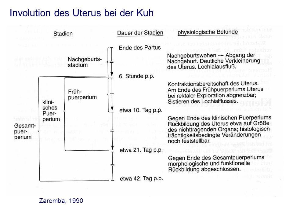 Involution des Uterus bei der Kuh Zaremba, 1990