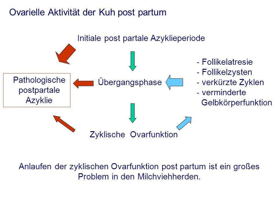 Ovarielle Aktivität der Kuh post partum Initiale post partale Azyklieperiode Übergangsphase Zyklische Ovarfunktion Anlaufen der zyklischen Ovarfunktion post partum ist ein großes Problem in den Milchviehherden.