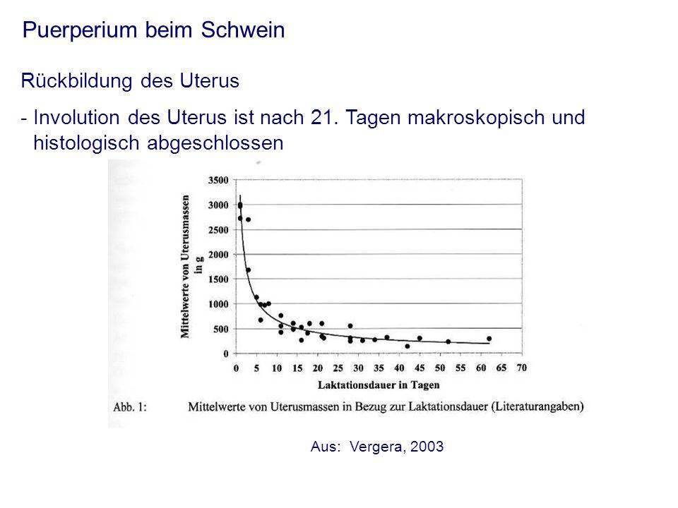 Puerperium beim Schwein Rückbildung des Uterus - Involution des Uterus ist nach 21.
