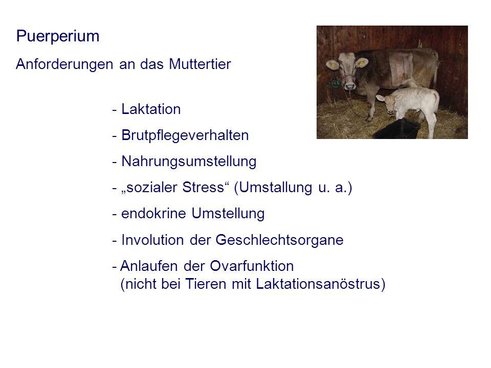 Puerperium Anforderungen an das Muttertier - Laktation - Brutpflegeverhalten - Nahrungsumstellung - sozialer Stress (Umstallung u.