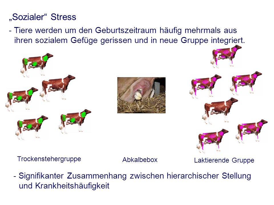 Sozialer Stress - Tiere werden um den Geburtszeitraum häufig mehrmals aus ihren sozialem Gefüge gerissen und in neue Gruppe integriert.