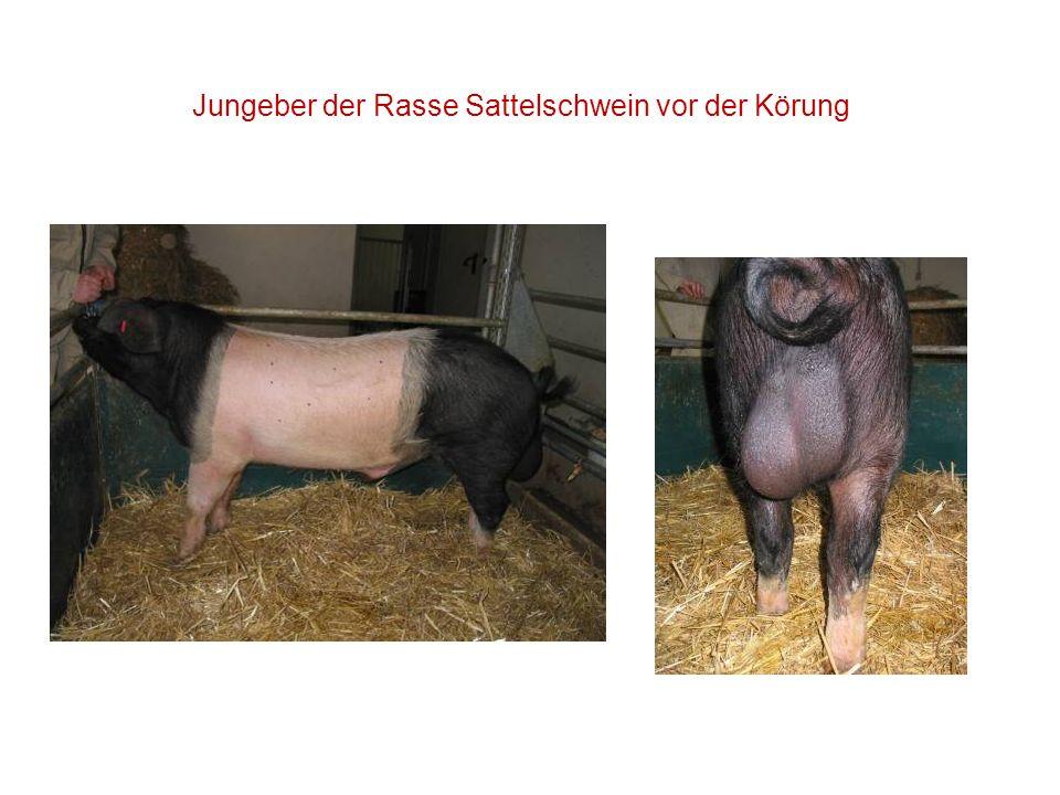 Jungeber der Rasse Sattelschwein vor der Körung