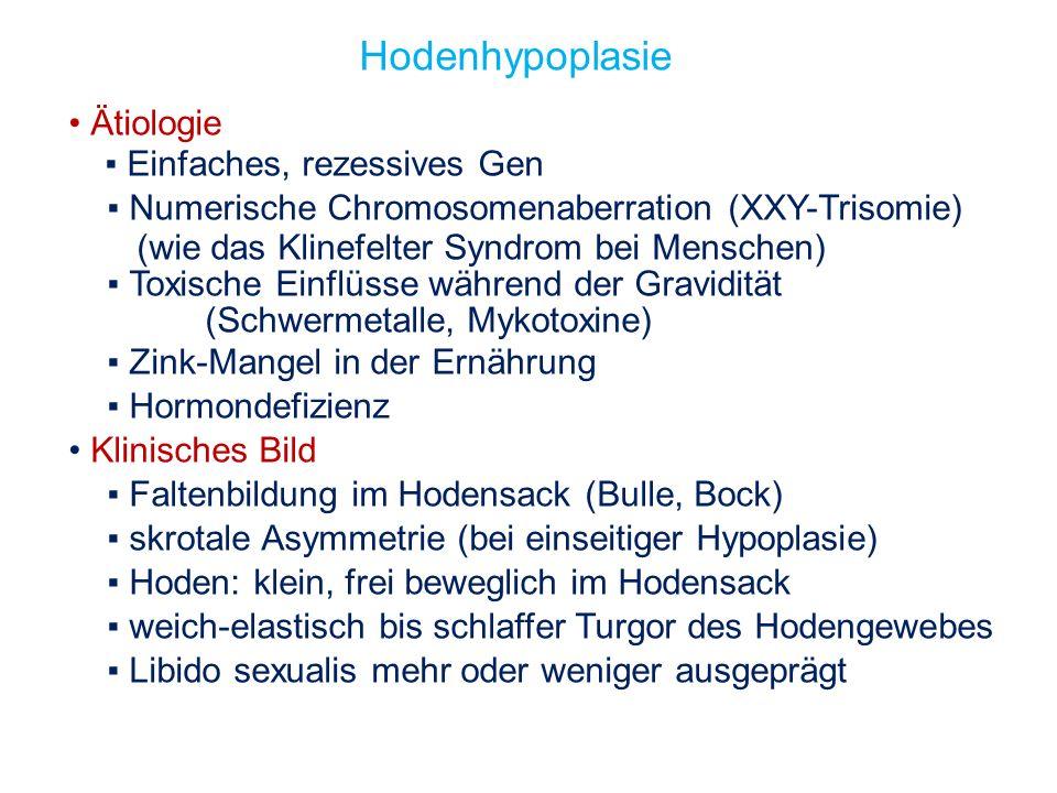 5 Unilaterale Hodenhypoplasie bei einem HF-Bullen