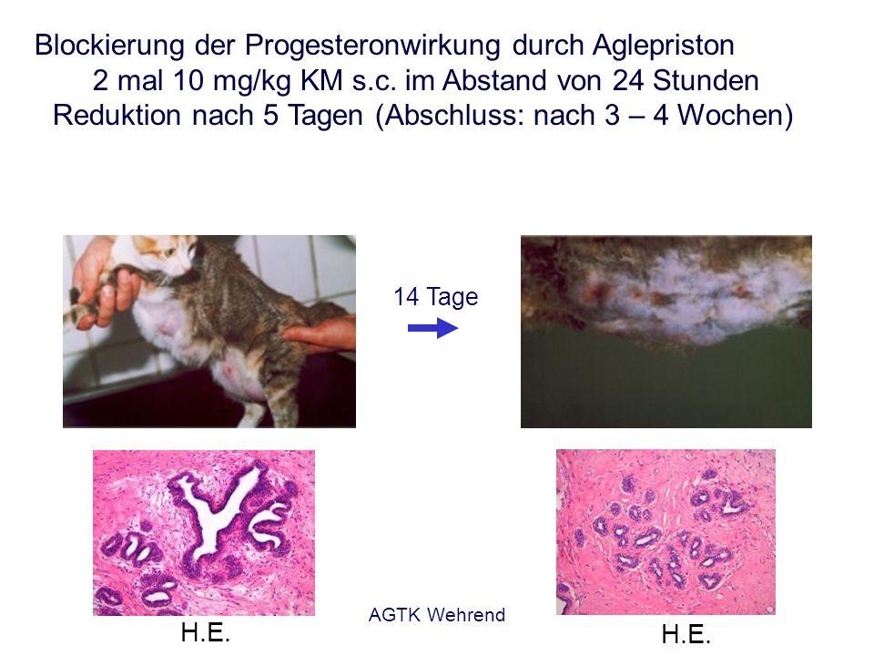 AGTK Wehrend Blockierung der Progesteronwirkung durch Aglepriston 2 mal 10 mg/kg KM s.c. im Abstand von 24 Stunden Reduktion nach 5 Tagen (Abschluss: