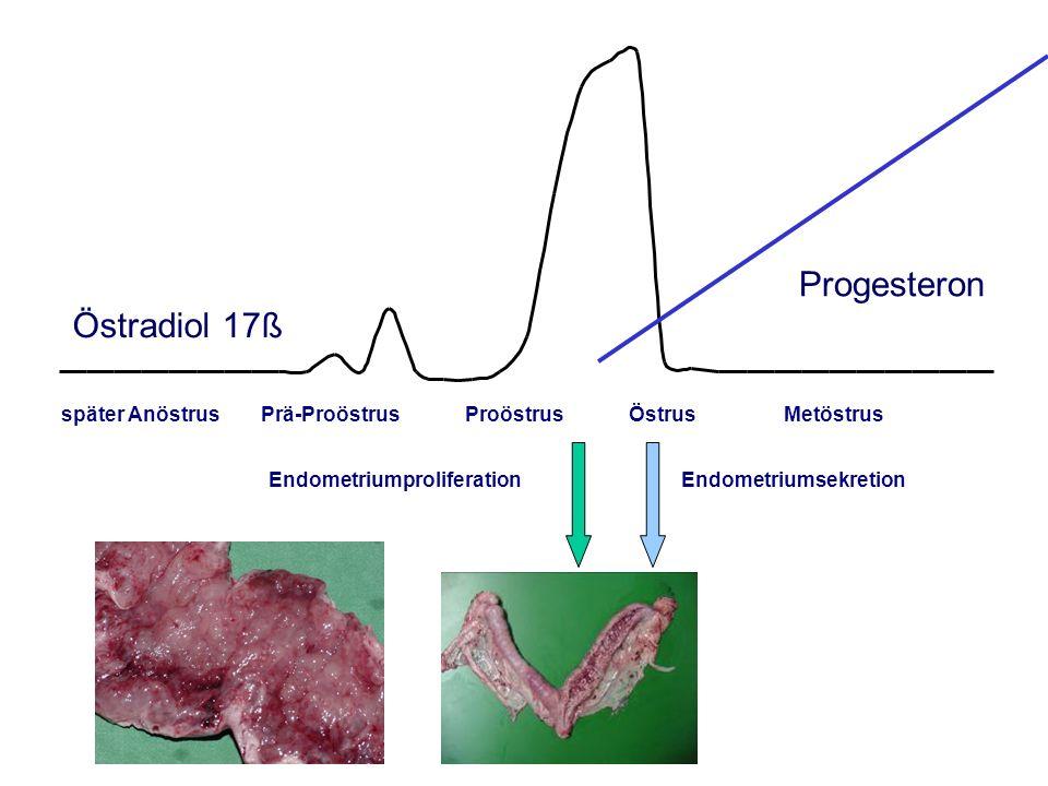 AGTK Wehrend Östradiol 17ß später Anöstrus Prä-Proöstrus Proöstrus Östrus Metöstrus Progesteron EndometriumproliferationEndometriumsekretion