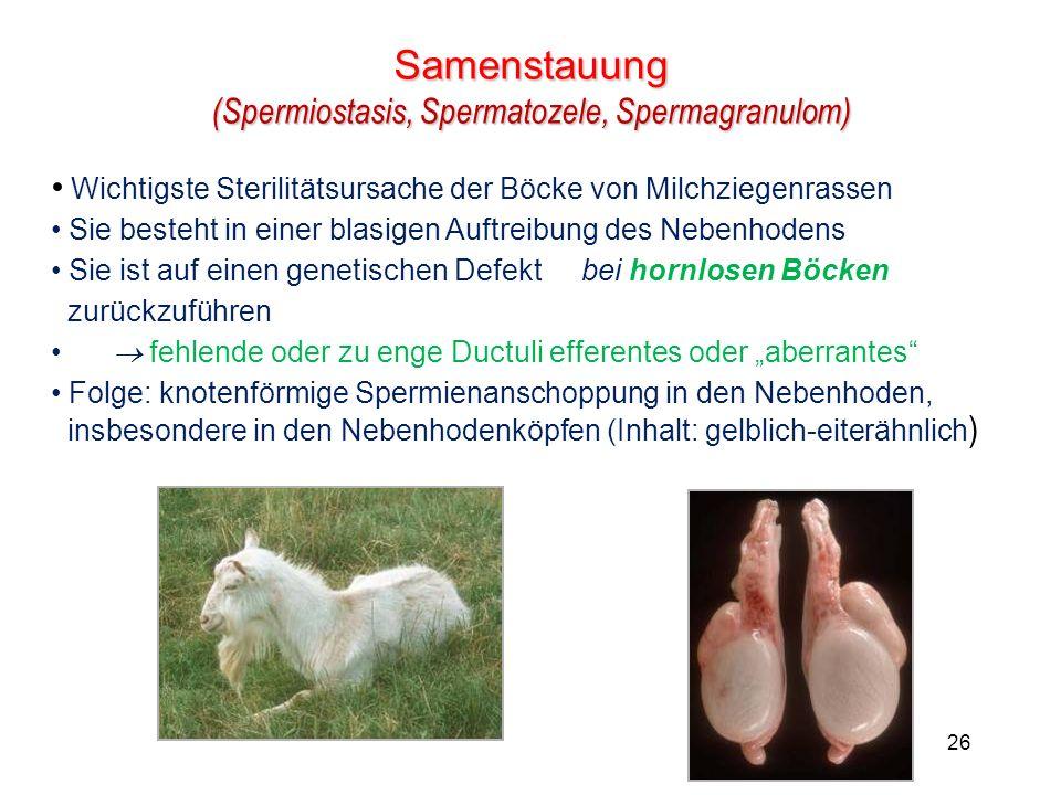 26 Samenstauung (Spermiostasis, Spermatozele, Spermagranulom) Wichtigste Sterilitätsursache der Böcke von Milchziegenrassen Sie besteht in einer blasigen Auftreibung des Nebenhodens Sie ist auf einen genetischen Defekt bei hornlosen Böcken zurückzuführen fehlende oder zu enge Ductuli efferentes oder aberrantes Folge: knotenförmige Spermienanschoppung in den Nebenhoden, insbesondere in den Nebenhodenköpfen (Inhalt: gelblich-eiterähnlich )