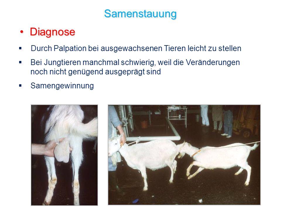 28 Samenstauung Diagnose Diagnose Durch Palpation bei ausgewachsenen Tieren leicht zu stellen Bei Jungtieren manchmal schwierig, weil die Veränderunge