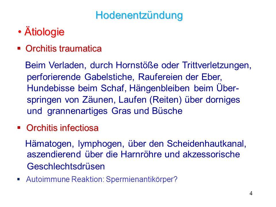 4 Hodenentzündung Ätiologie Ätiologie Orchitis traumatica Orchitis traumatica Beim Verladen, durch Hornstöße oder Trittverletzungen, perforierende Gab