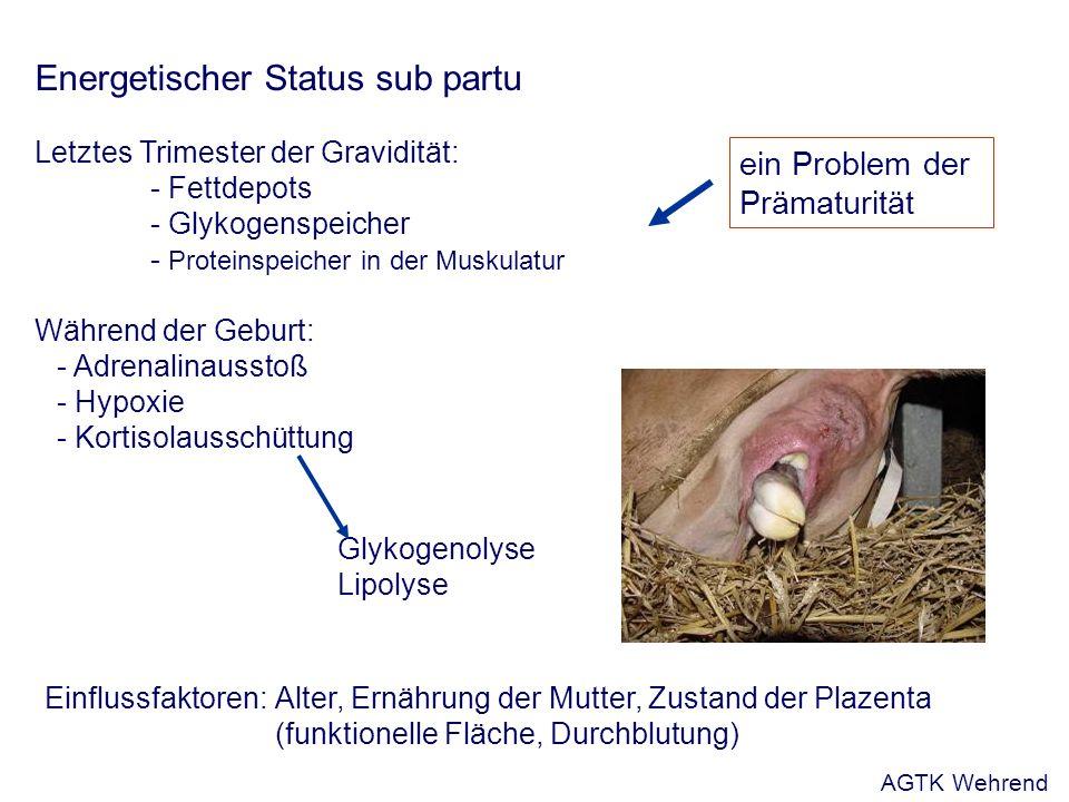 Energetischer Status sub partu Letztes Trimester der Gravidität: - Fettdepots - Glykogenspeicher - Proteinspeicher in der Muskulatur Während der Geburt: - Adrenalinausstoß - Hypoxie - Kortisolausschüttung Glykogenolyse Lipolyse ein Problem der Prämaturität Einflussfaktoren: Alter, Ernährung der Mutter, Zustand der Plazenta (funktionelle Fläche, Durchblutung) AGTK Wehrend