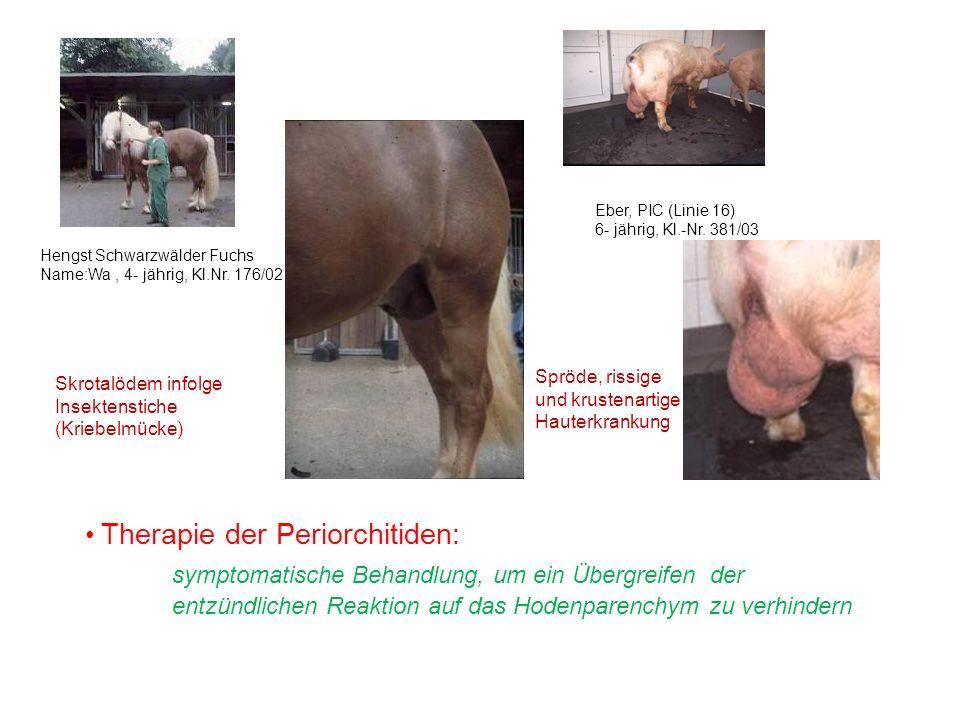 Hengst Schwarzwälder Fuchs Name:Wa, 4- jährig, Kl.Nr. 176/02 Eber, PIC (Linie 16) 6- jährig, Kl.-Nr. 381/03 Skrotalödem infolge Insektenstiche (Kriebe