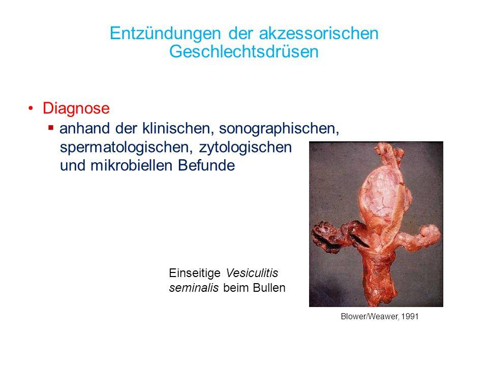 Einseitige Vesiculitis seminalis beim Bullen Entzündungen der akzessorischen Geschlechtsdrüsen Diagnose anhand der klinischen, sonographischen, sperma
