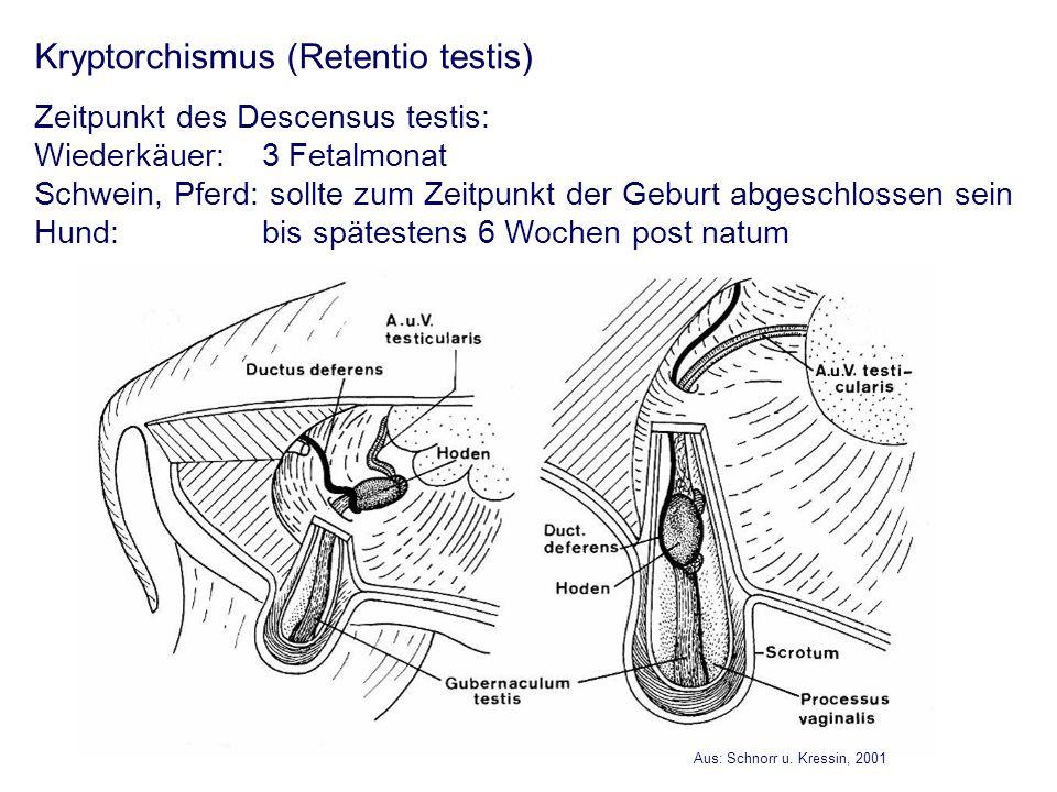 Kryptorchismus (Retentio testis) Zeitpunkt des Descensus testis: Wiederkäuer: 3 Fetalmonat Schwein, Pferd: sollte zum Zeitpunkt der Geburt abgeschloss