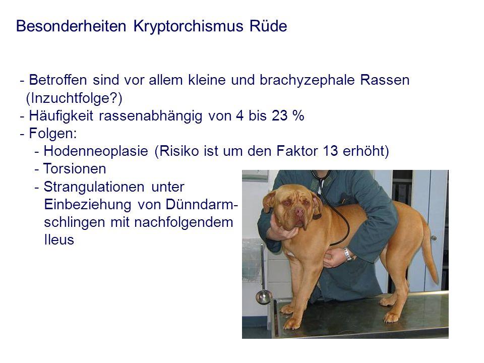 Besonderheiten Kryptorchismus Rüde - Betroffen sind vor allem kleine und brachyzephale Rassen (Inzuchtfolge?) - Häufigkeit rassenabhängig von 4 bis 23
