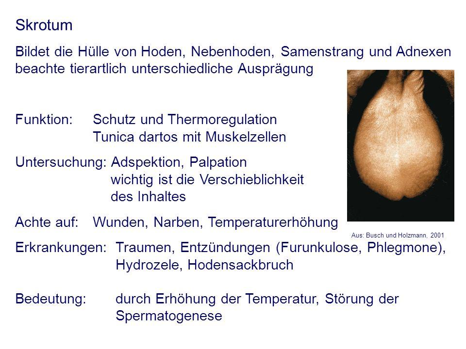 Skrotum Bildet die Hülle von Hoden, Nebenhoden, Samenstrang und Adnexen beachte tierartlich unterschiedliche Ausprägung Funktion: Schutz und Thermoreg