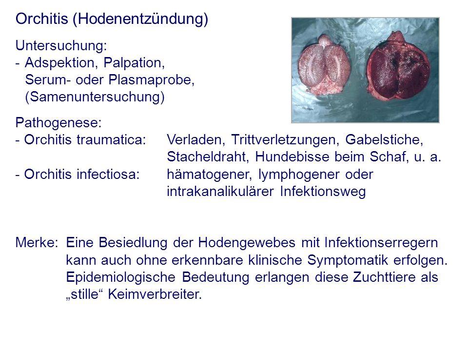 Orchitis (Hodenentzündung) Untersuchung: - Adspektion, Palpation, Serum- oder Plasmaprobe, (Samenuntersuchung) Pathogenese: - Orchitis traumatica:Verl