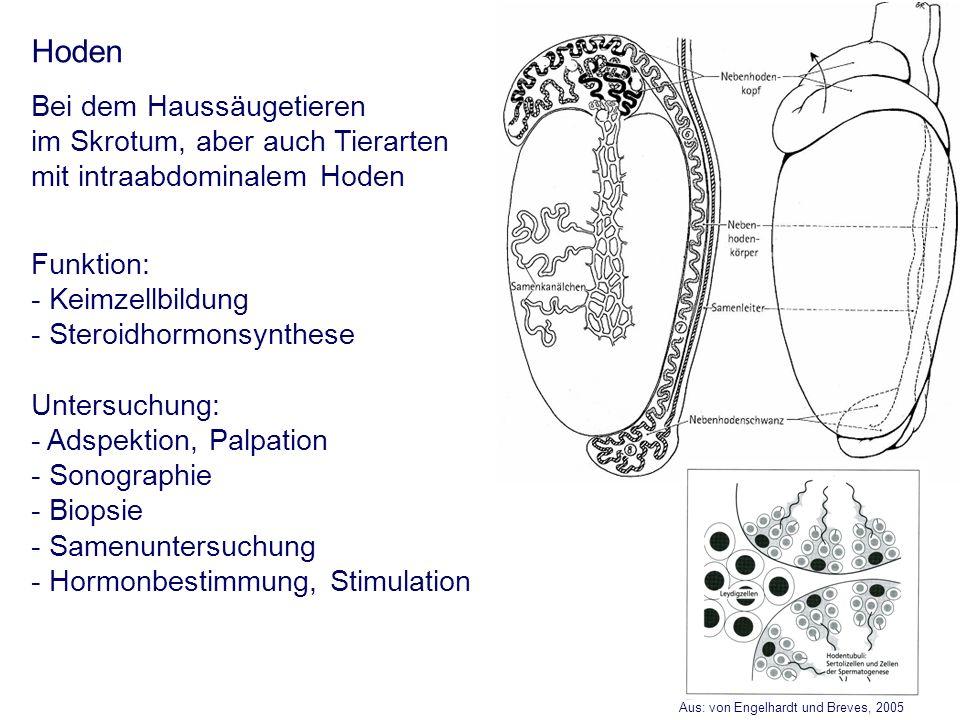 Aus: von Engelhardt und Breves, 2005 Hoden Bei dem Haussäugetieren im Skrotum, aber auch Tierarten mit intraabdominalem Hoden Funktion: - Keimzellbild