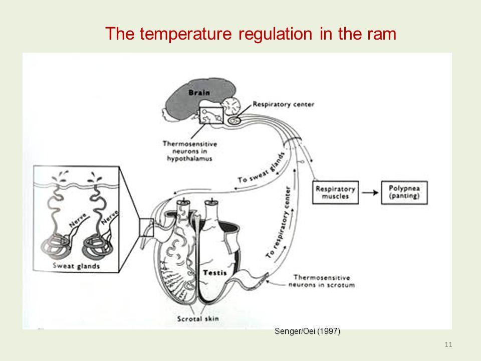 The temperature regulation in the ram Senger/Oei (1997) 11