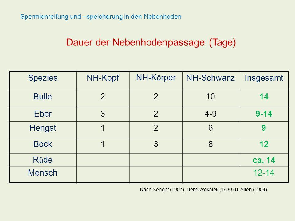 SpeziesNH-Kopf NH-K ö rper NH-SchwanzInsgesamt Bulle221014 Eber324-99-14 Hengst1269 Bock13812 R ü de ca. 14 Mensch12-14 Dauer der Nebenhodenpassage (T