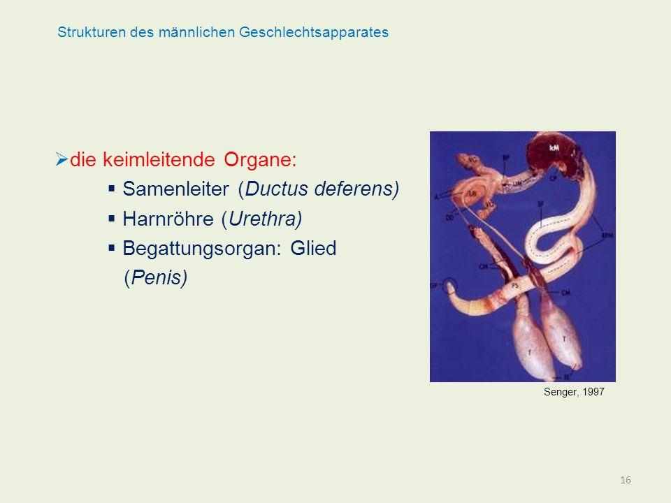 Strukturen des männlichen Geschlechtsapparates die keimleitende Organe: Samenleiter (Ductus deferens) Harnröhre (Urethra) Begattungsorgan: Glied (Peni