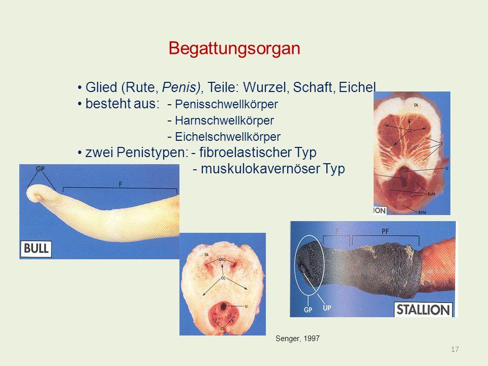Begattungsorgan Glied (Rute, Penis), Teile: Wurzel, Schaft, Eichel besteht aus: - Penisschwellkörper - Harnschwellkörper - Eichelschwellkörper zwei Pe