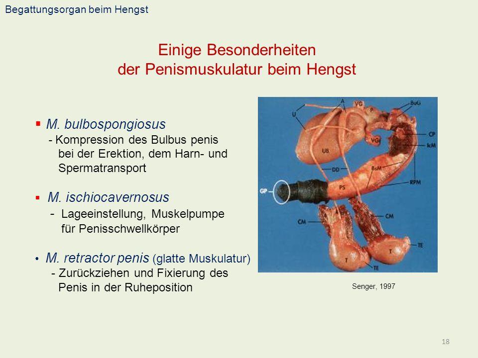 Begattungsorgan beim Hengst Einige Besonderheiten der Penismuskulatur beim Hengst 18 Senger, 1997 M. bulbospongiosus - Kompression des Bulbus penis be