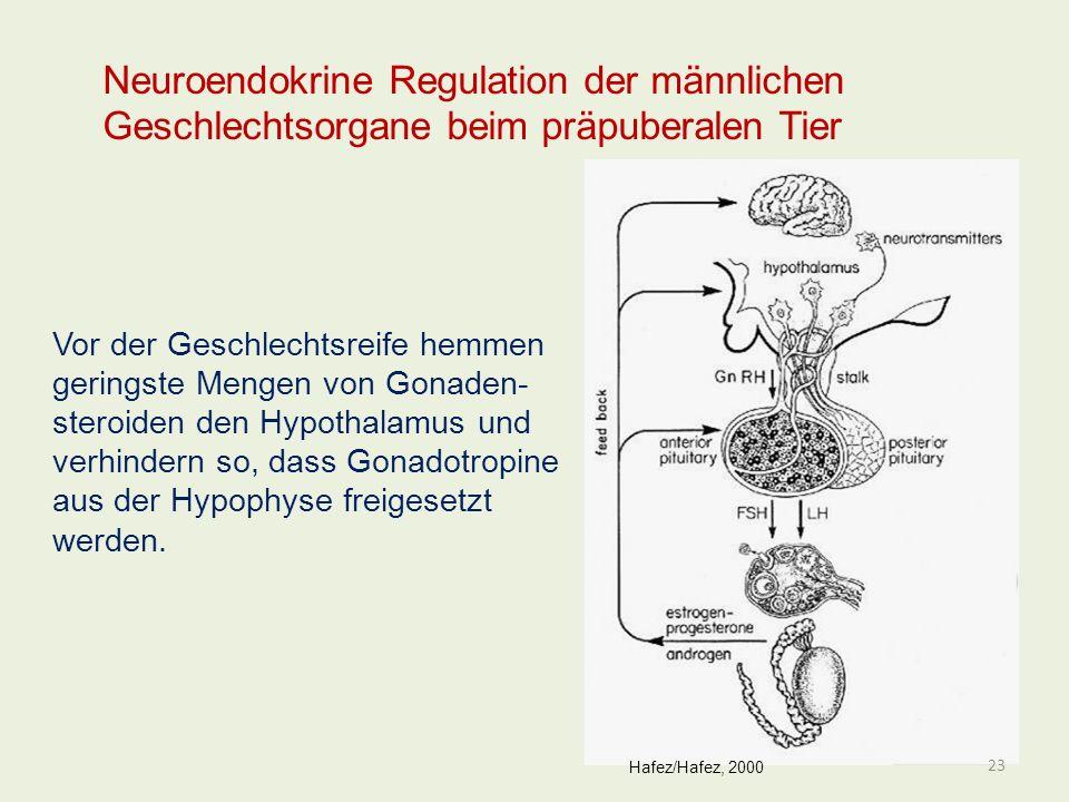 Neuroendokrine Regulation der männlichen Geschlechtsorgane beim präpuberalen Tier Vor der Geschlechtsreife hemmen geringste Mengen von Gonaden- steroi
