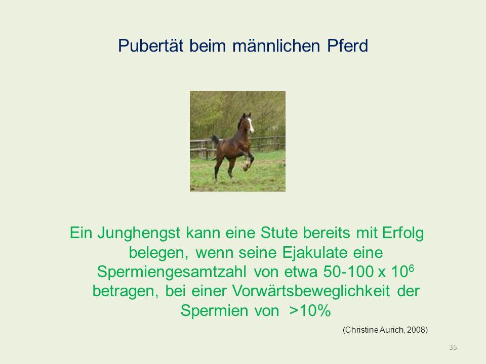 Pubertät beim männlichen Pferd Ein Junghengst kann eine Stute bereits mit Erfolg belegen, wenn seine Ejakulate eine Spermiengesamtzahl von etwa 50-100
