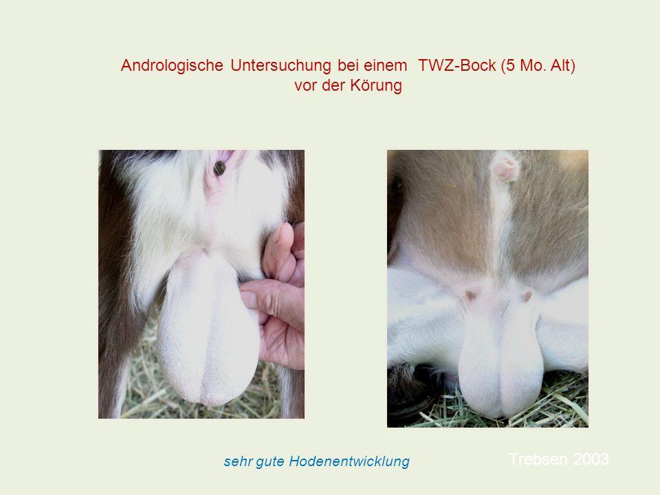 Trebsen 2003 Andrologische Untersuchung bei einem TWZ-Bock (5 Mo. Alt) vor der Körung sehr gute Hodenentwicklung