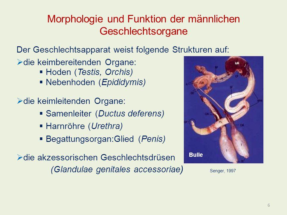 Morphologie und Funktion der männlichen Geschlechtsorgane Der Geschlechtsapparat weist folgende Strukturen auf: die keimbereitenden Organe: Hoden (Tes
