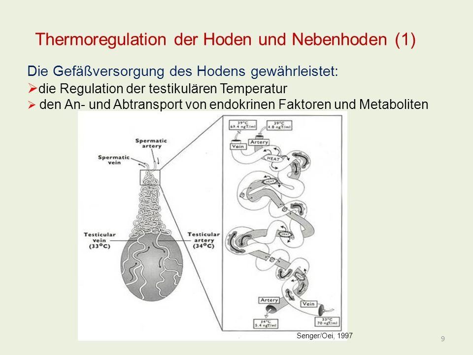 Thermoregulation der Hoden und Nebenhoden (1) Die Gefäßversorgung des Hodens gewährleistet: die Regulation der testikulären Temperatur den An- und Abt