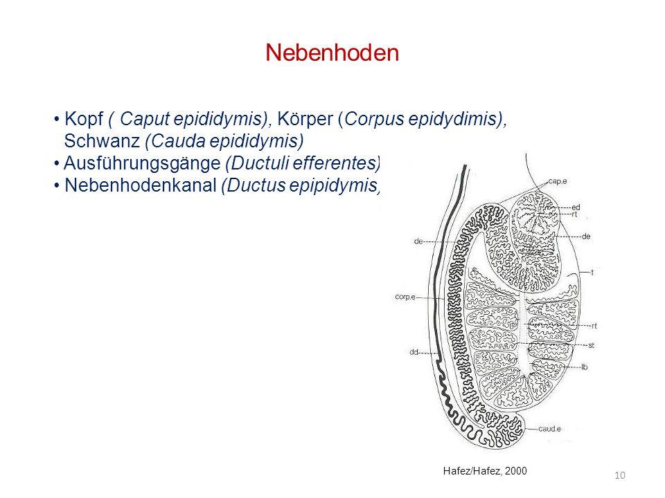 Nebenhoden Kopf ( Caput epididymis), Körper (Corpus epidydimis), Schwanz (Cauda epididymis) Ausführungsgänge (Ductuli efferentes) Nebenhodenkanal (Duc