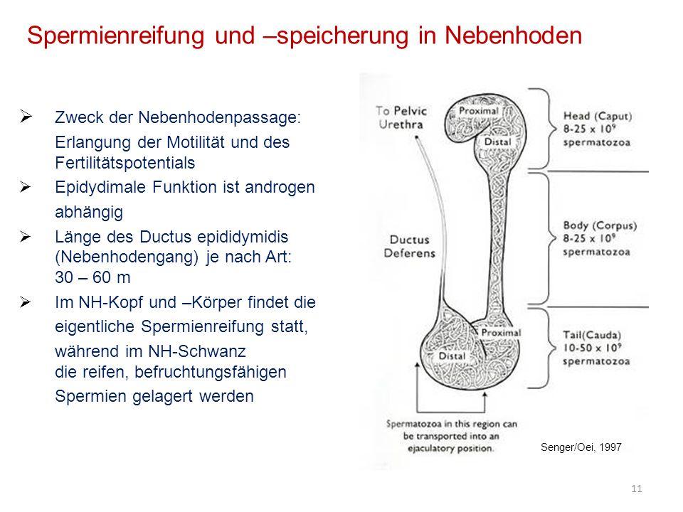 Spermienreifung und –speicherung in Nebenhoden Zweck der Nebenhodenpassage: Erlangung der Motilität und des Fertilitätspotentials Epidydimale Funktion