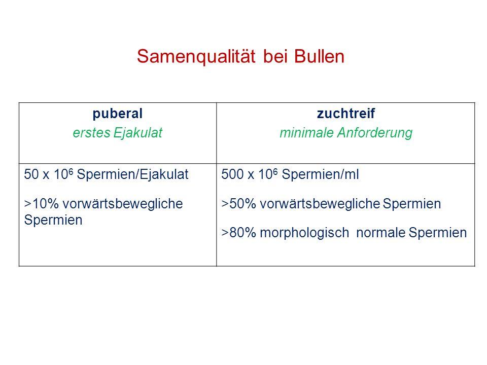 Samenqualität bei Bullen puberal erstes Ejakulat zuchtreif minimale Anforderung 50 x 10 6 Spermien/Ejakulat >10% vorwärtsbewegliche Spermien 500 x 10