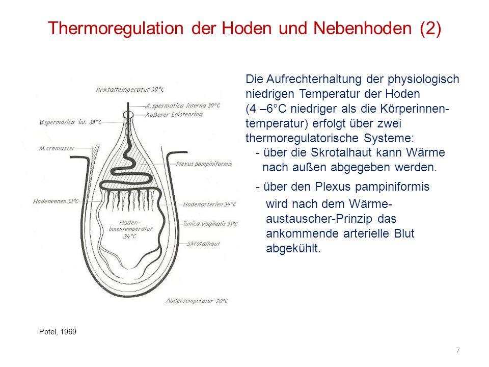 Thermoregulation der Hoden und Nebenhoden (2) Die Aufrechterhaltung der physiologisch niedrigen Temperatur der Hoden (4 –6°C niedriger als die Körperi