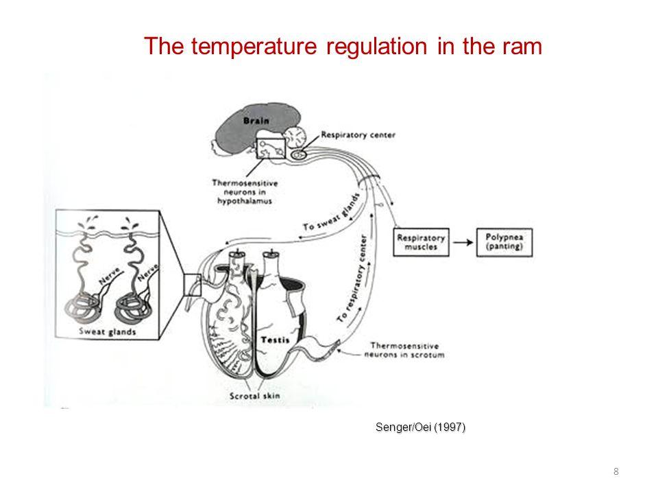 The temperature regulation in the ram Senger/Oei (1997) 8